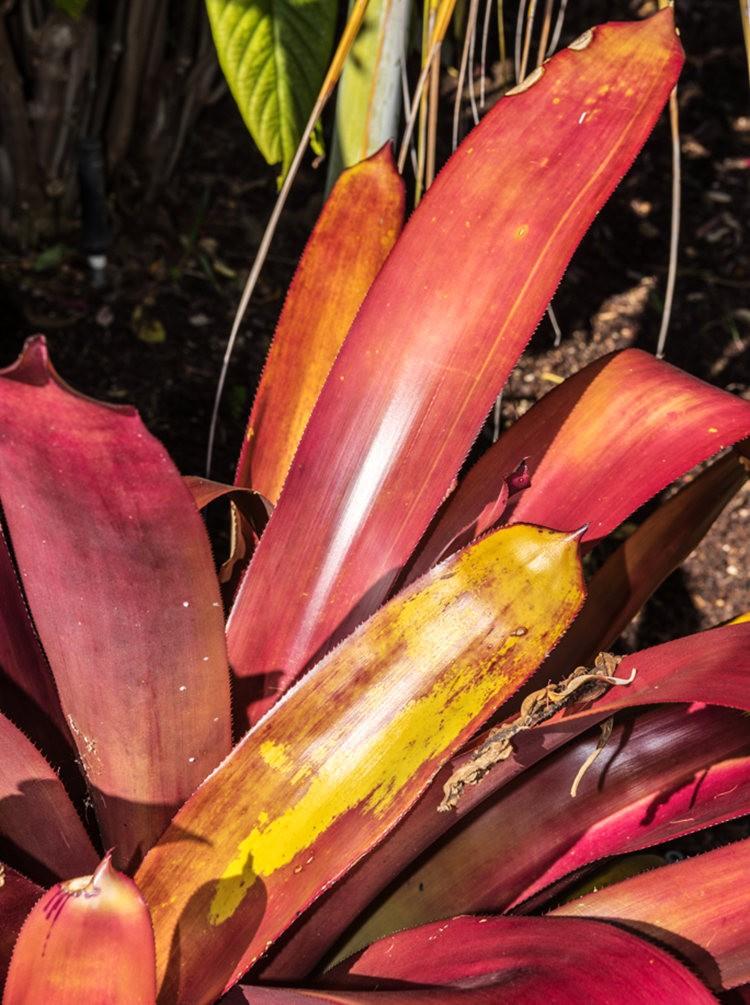 南加州的凤梨植物_图1-11