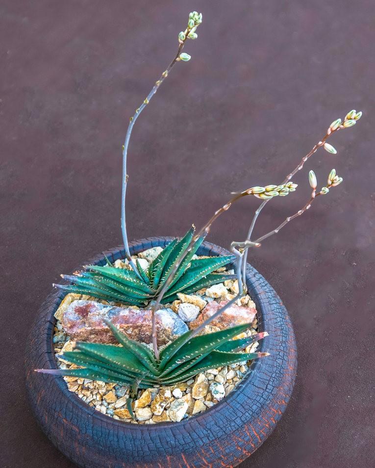南加州的凤梨植物_图1-16