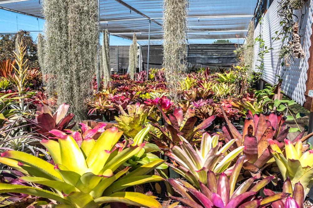 南加州的凤梨植物_图1-20