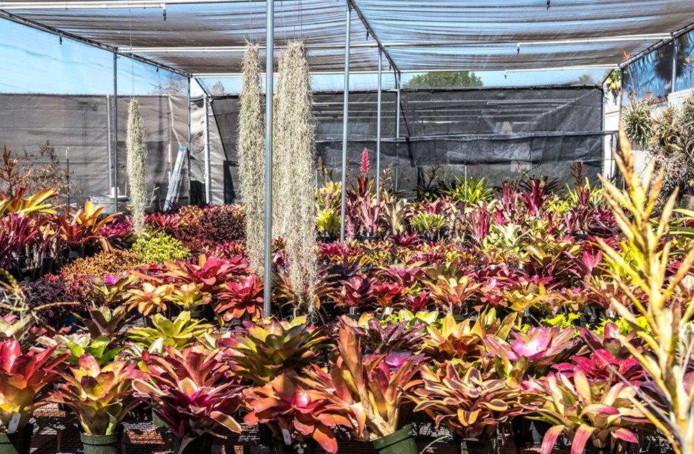 南加州的凤梨植物_图1-21