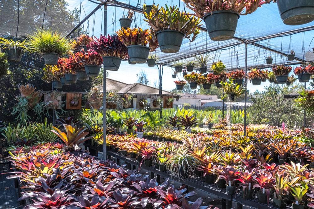 南加州的凤梨植物_图1-22