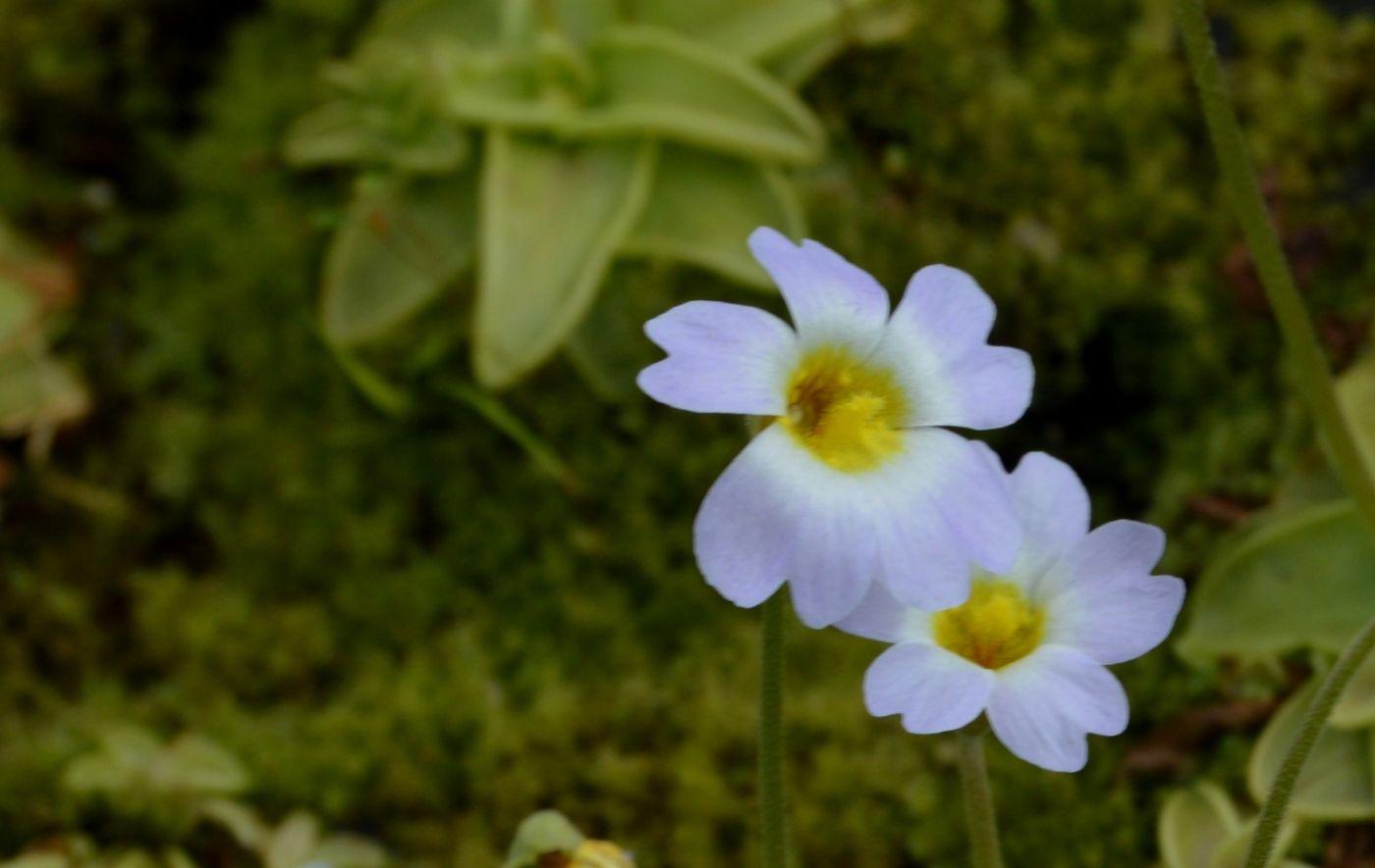 樱叶捕虫菫_图1-12