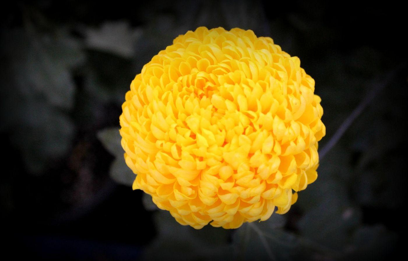 植物园日本菊花展_图1-4