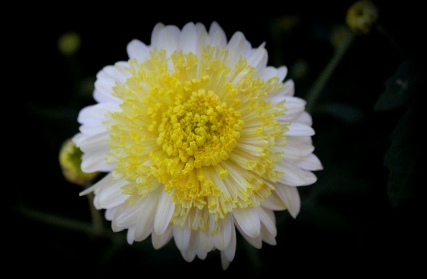 植物园日本菊花展_图1-6