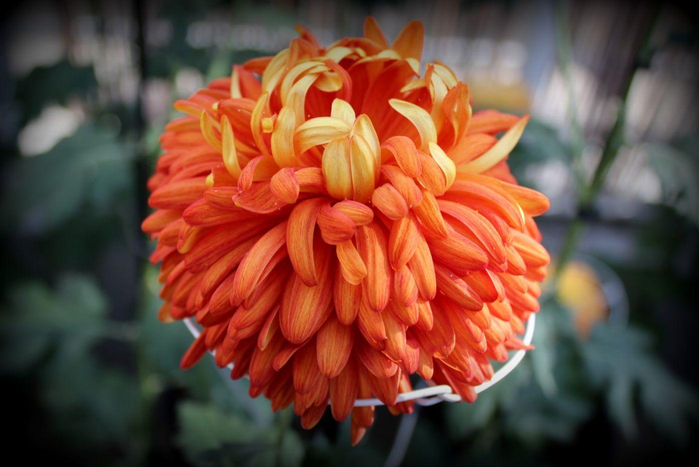 植物园日本菊花展_图1-11