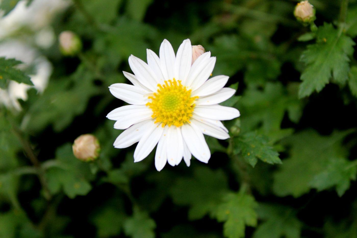 植物园日本菊花展_图1-17