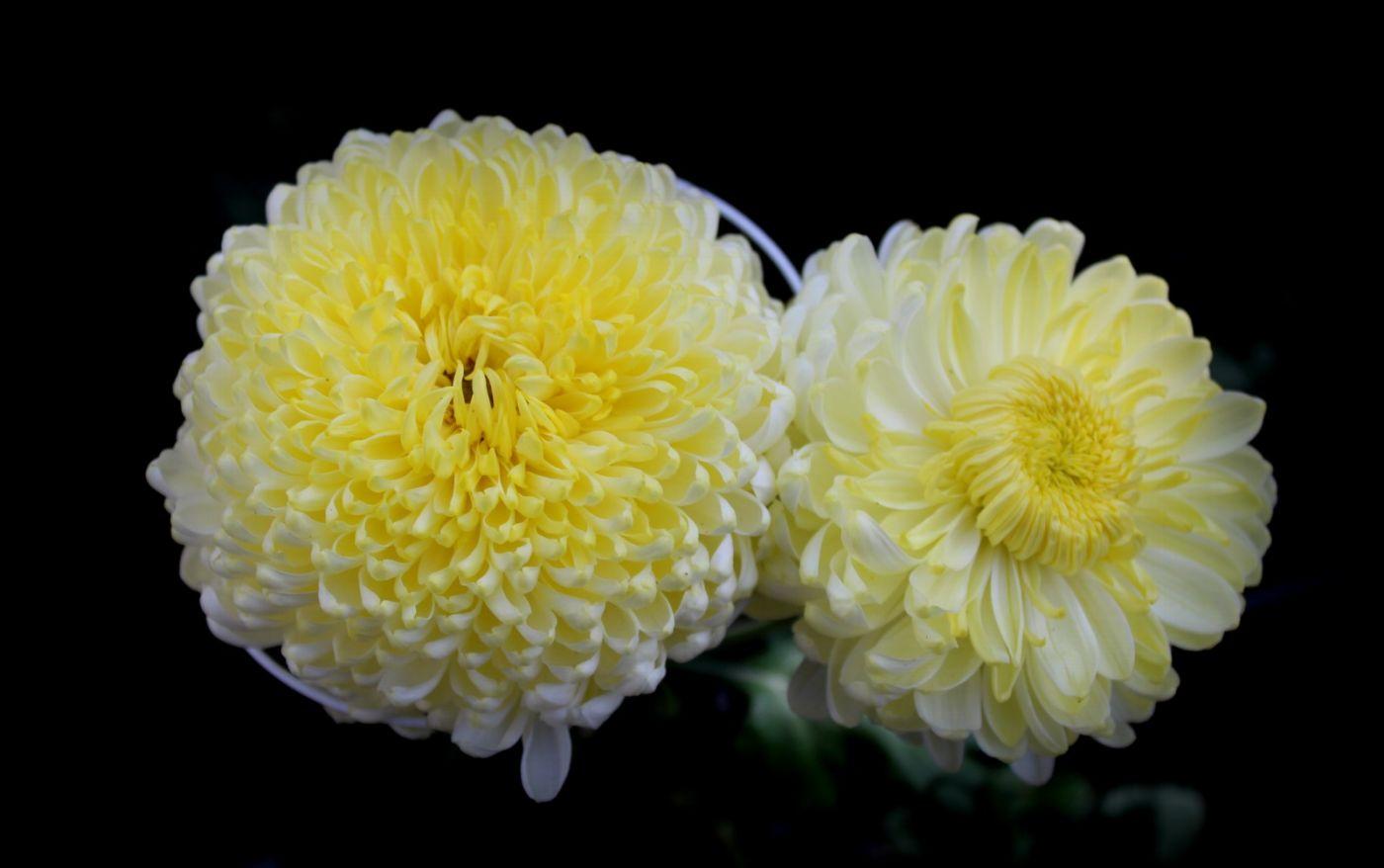 植物园日本菊花展_图1-21