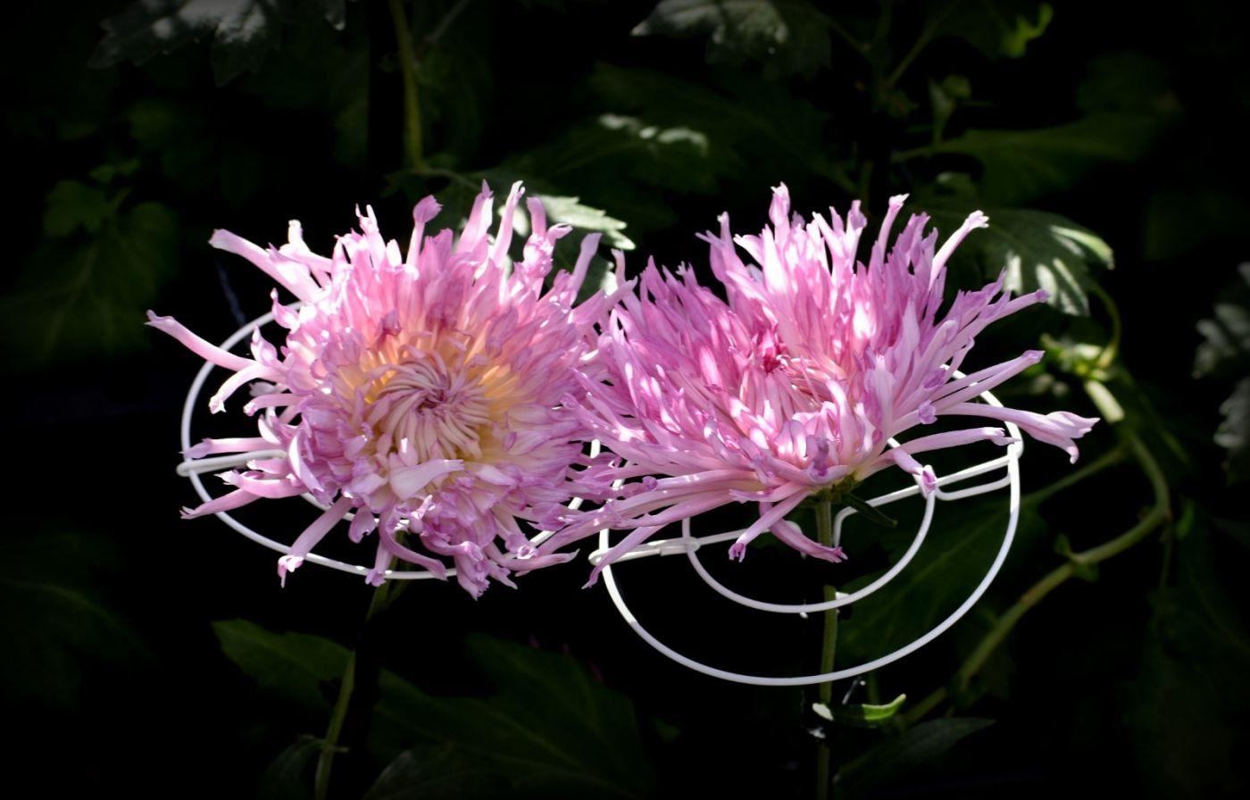 植物园日本菊花展_图1-24