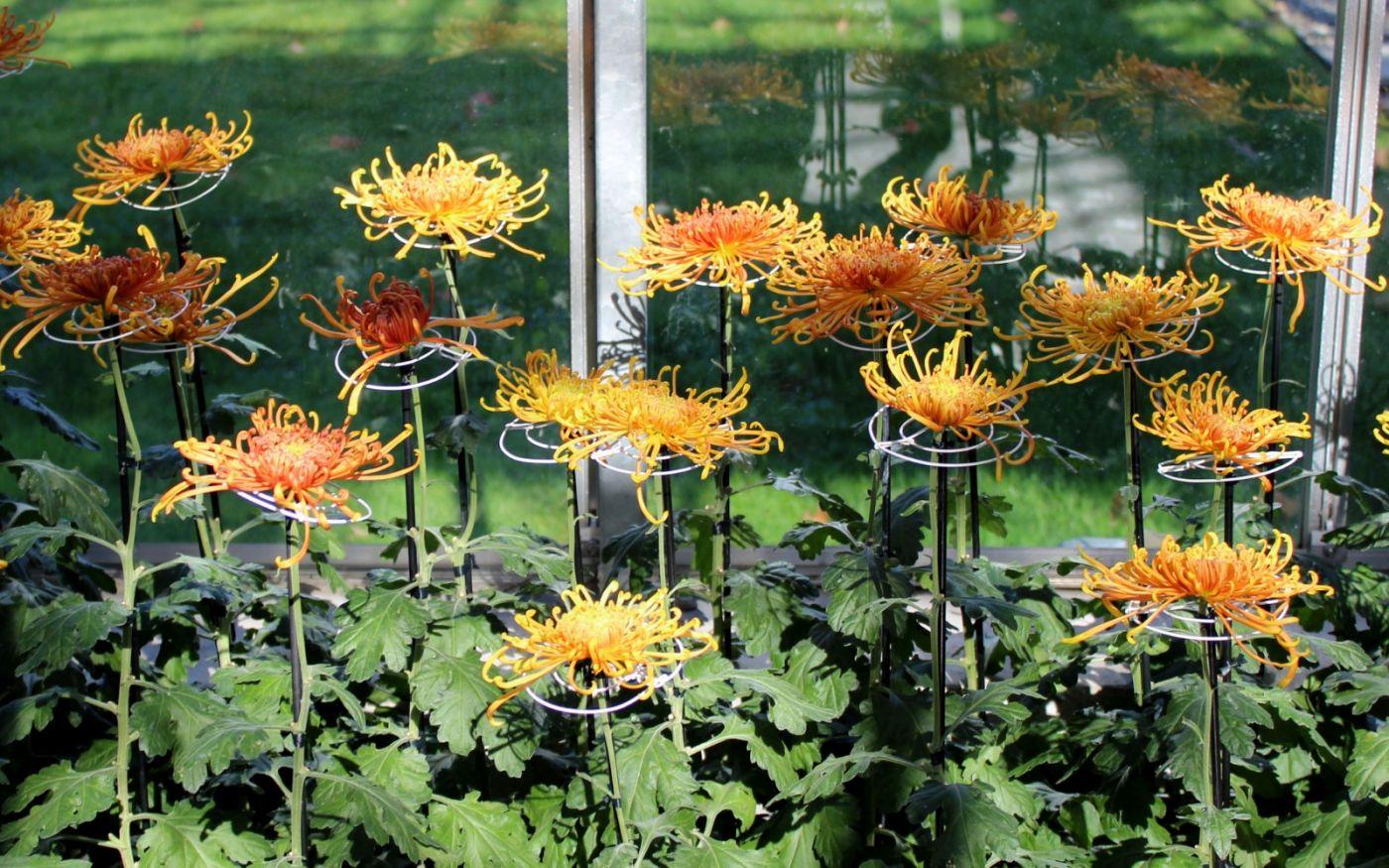 植物园日本菊花展_图1-25