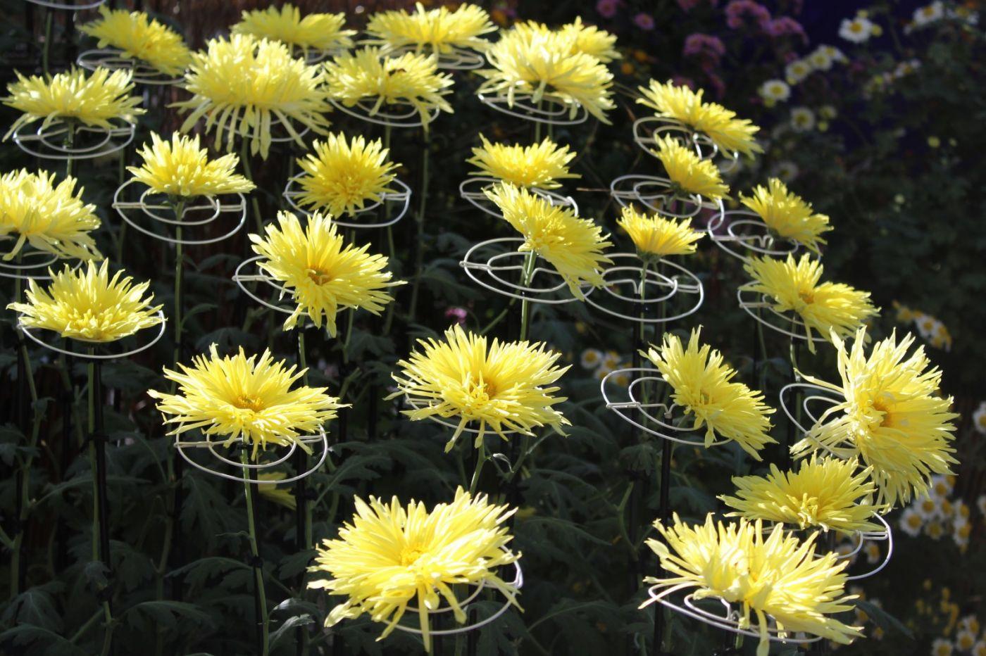 植物园日本菊花展_图1-27