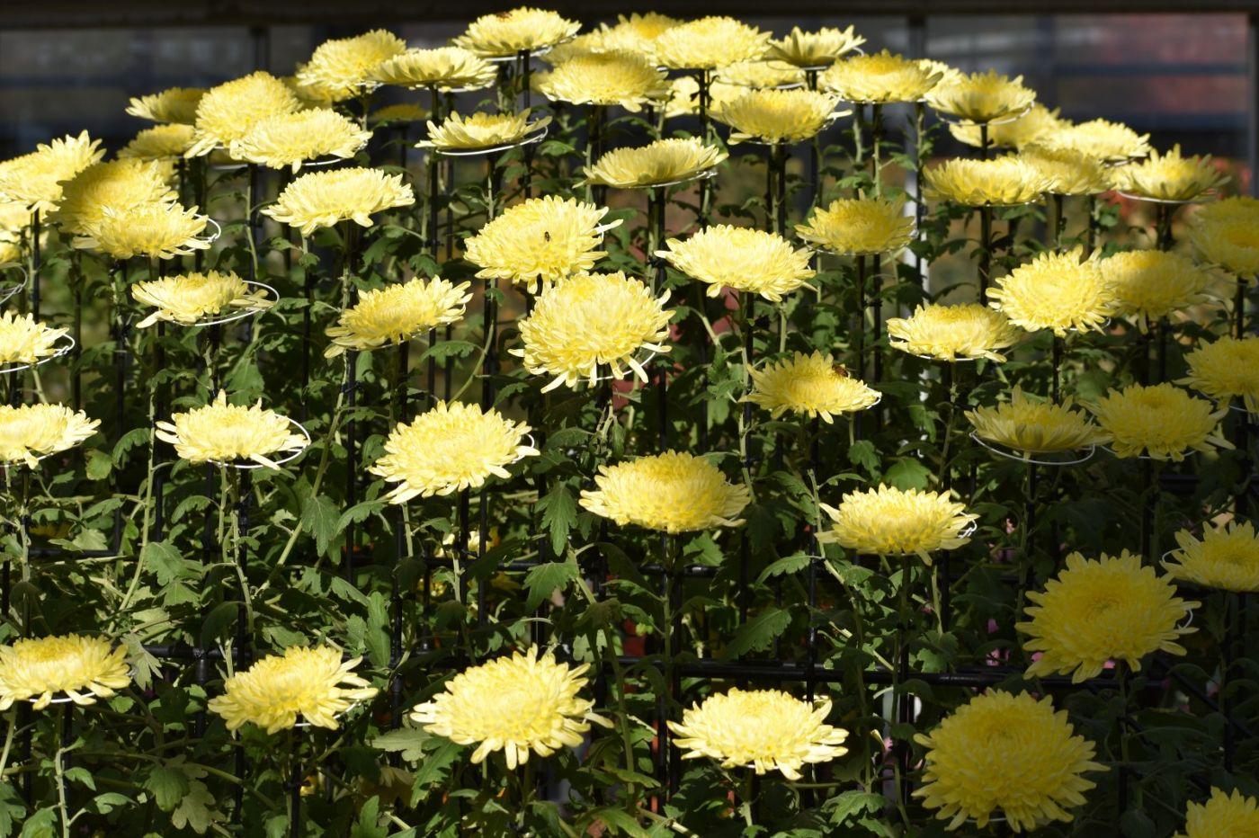 植物园日本菊花展_图1-28