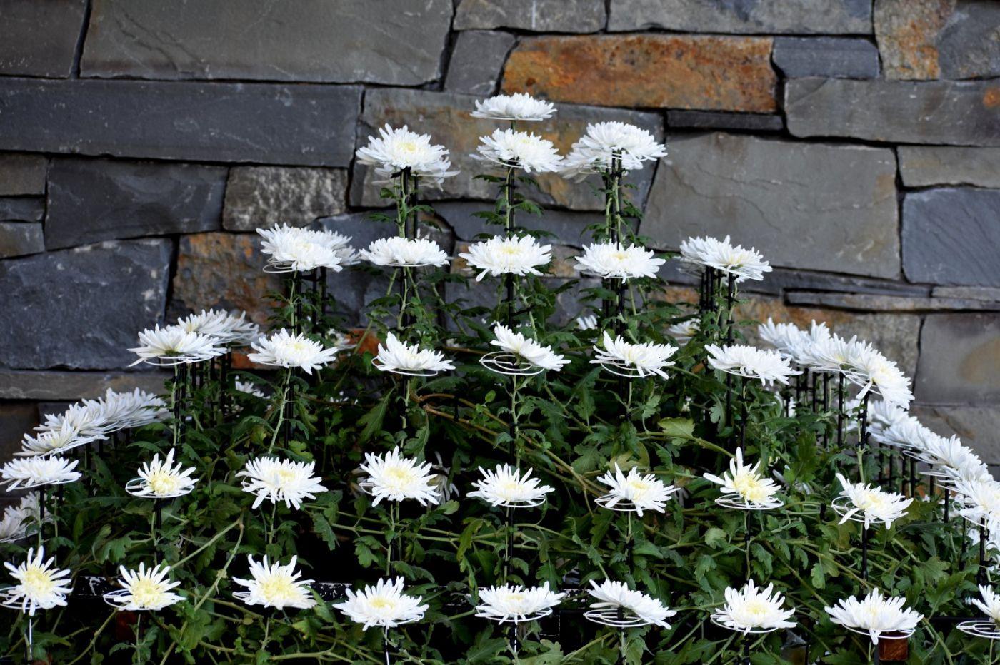 植物园日本菊花展_图1-30