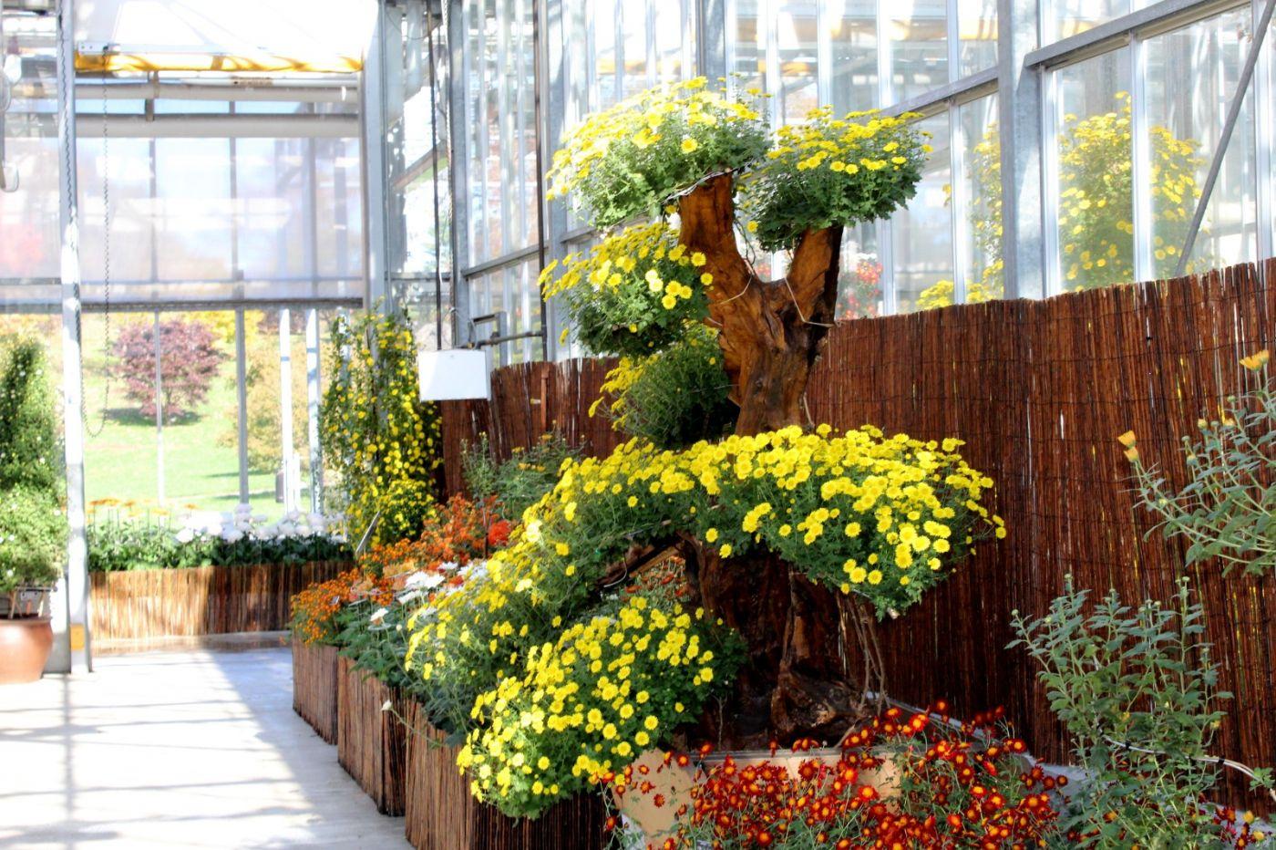 植物园日本菊花展_图1-31