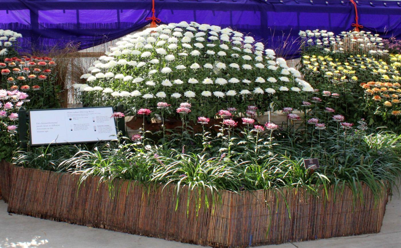 植物园日本菊花展_图1-32