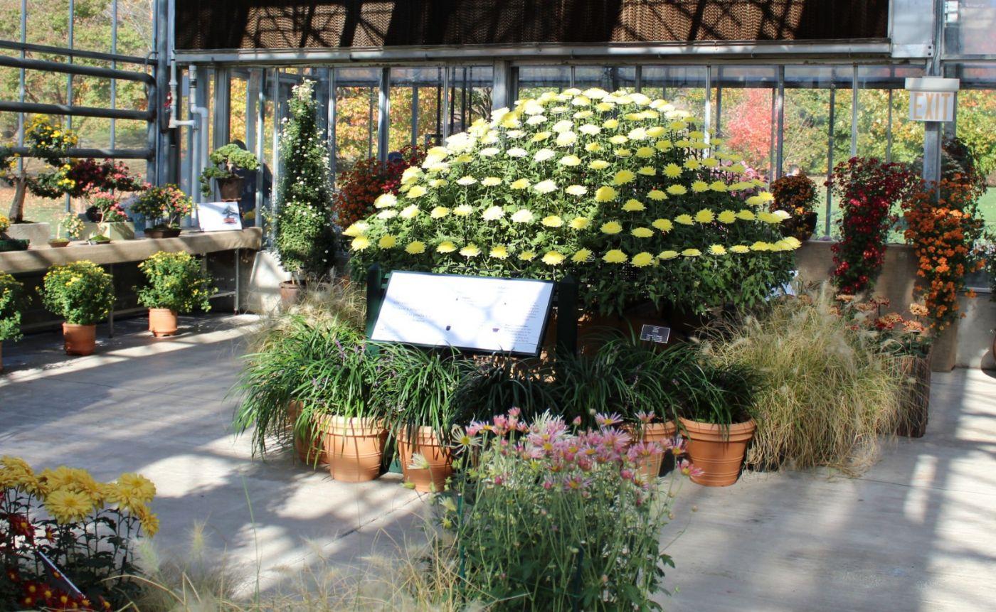 植物园日本菊花展_图1-35