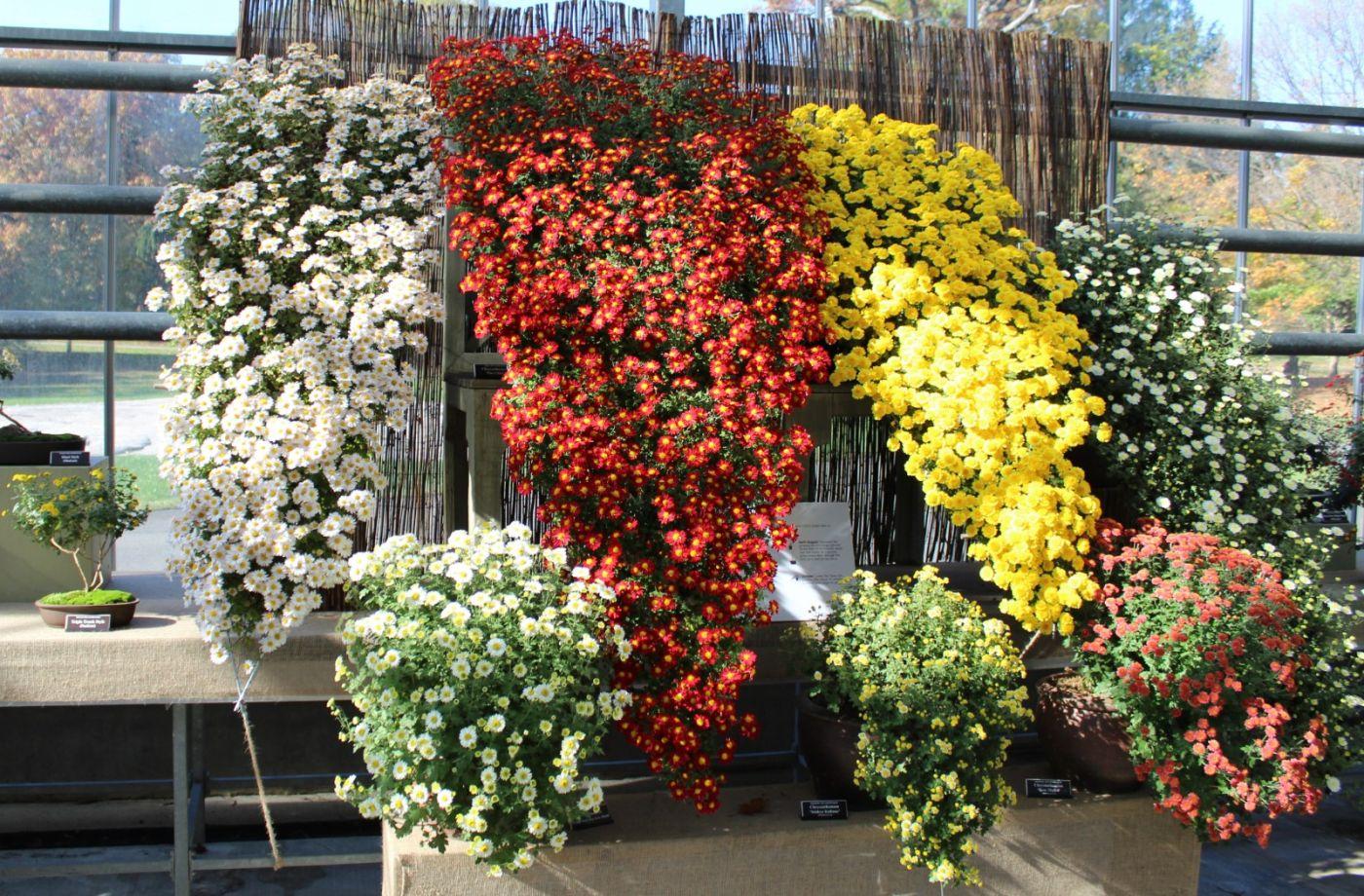 植物园日本菊花展_图1-36