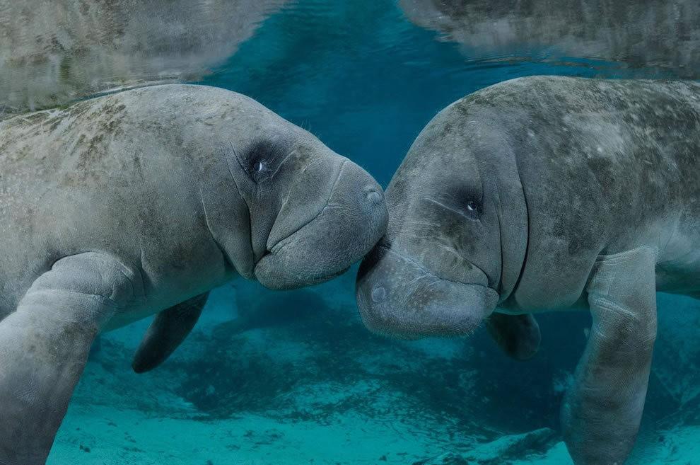 佛罗里达州濒危野生动物---海牛_图1-1