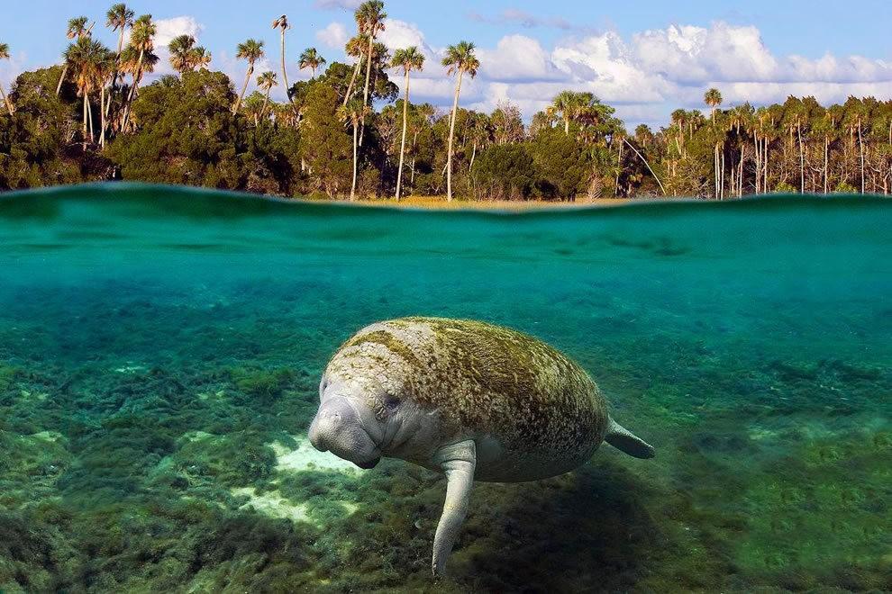 佛罗里达州濒危野生动物---海牛_图1-2