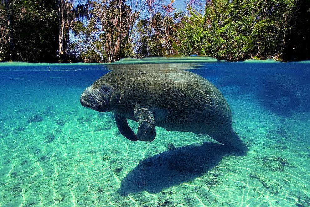 佛罗里达州濒危野生动物---海牛_图1-3