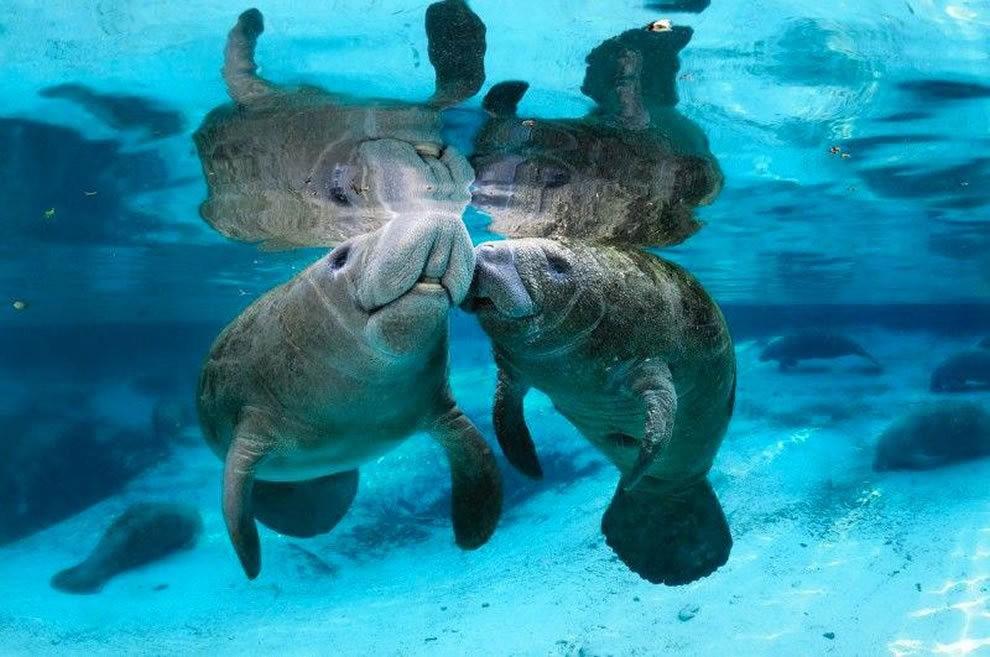 佛罗里达州濒危野生动物---海牛_图1-4