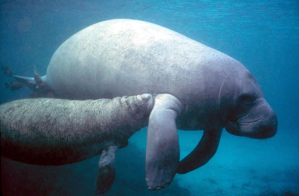 佛罗里达州濒危野生动物---海牛_图1-8