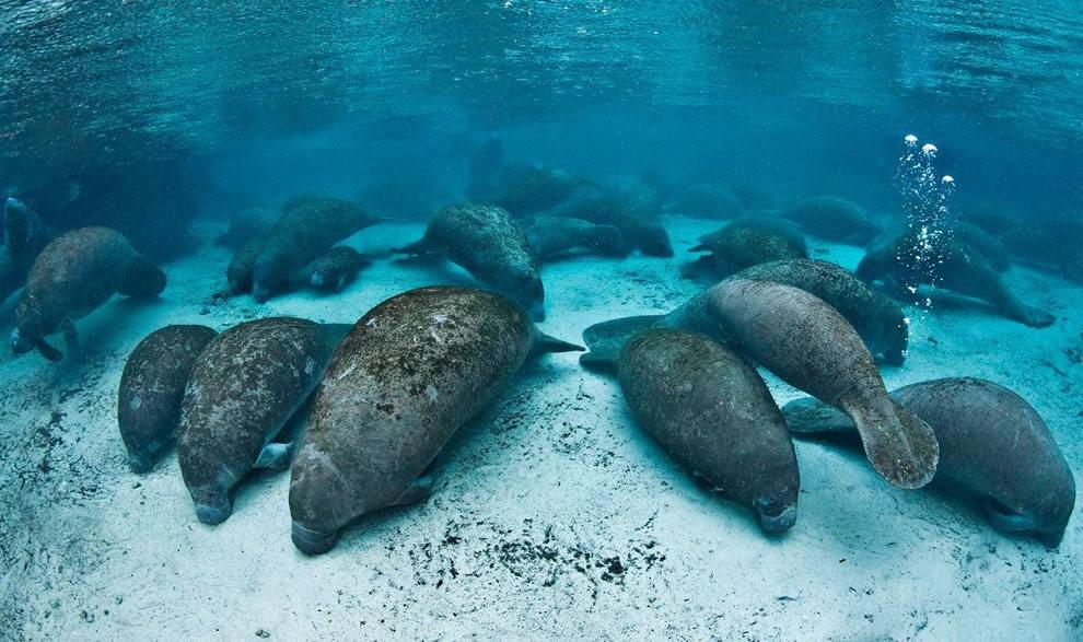 佛罗里达州濒危野生动物---海牛_图1-10