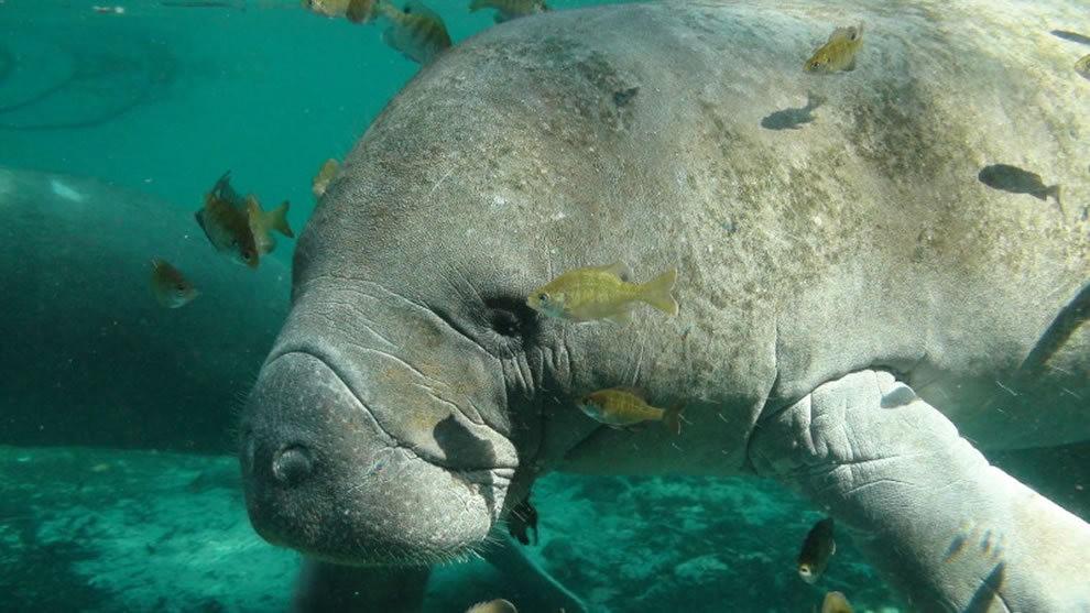 佛罗里达州濒危野生动物---海牛_图1-13