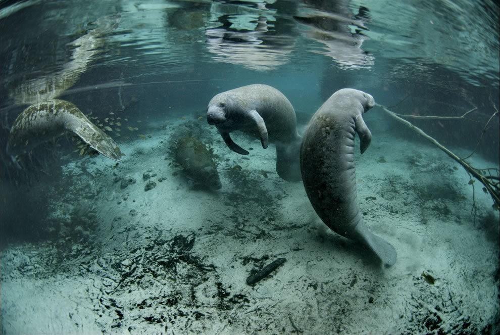 佛罗里达州濒危野生动物---海牛_图1-14