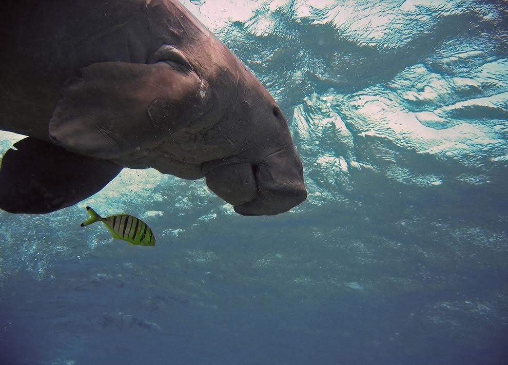 佛罗里达州濒危野生动物---海牛_图1-15