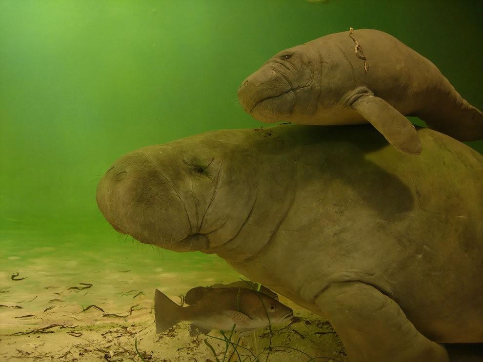 佛罗里达州濒危野生动物---海牛_图1-17