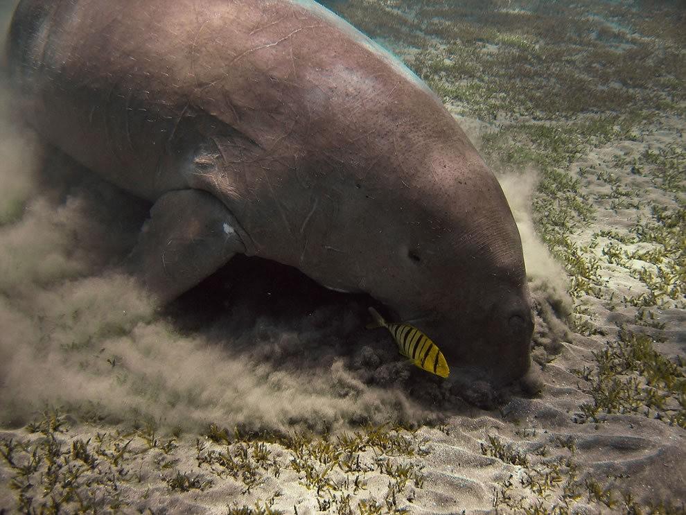 佛罗里达州濒危野生动物---海牛_图1-18