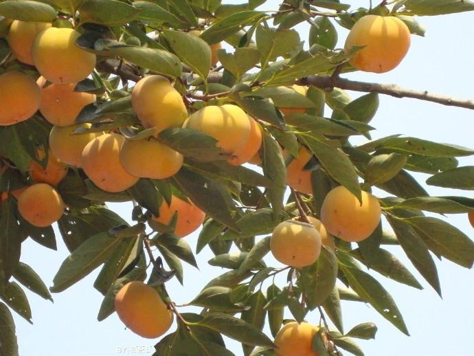 """为什么吃柿子吃多了可能会长""""结石""""?可能是因为这2个吃法情况 ..._图1-3"""