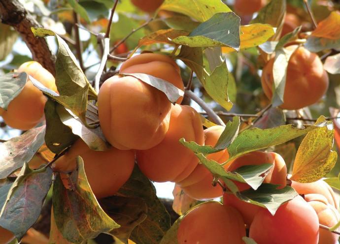 """为什么吃柿子吃多了可能会长""""结石""""?可能是因为这2个吃法情况 ..._图1-4"""