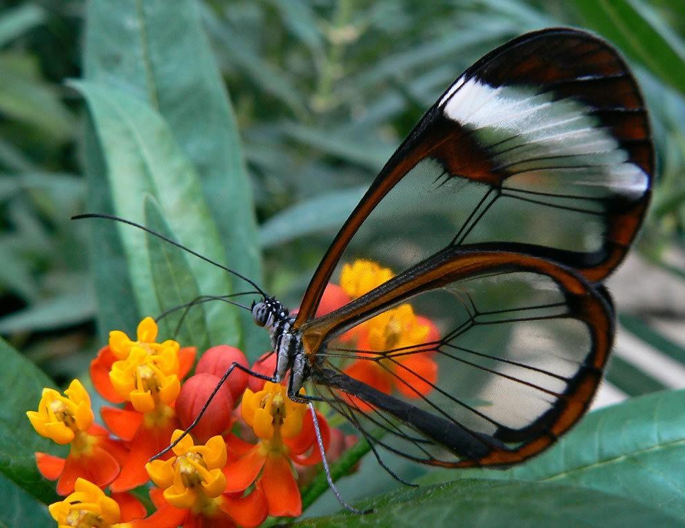 华丽的玻璃翼蝴蝶_图1-1