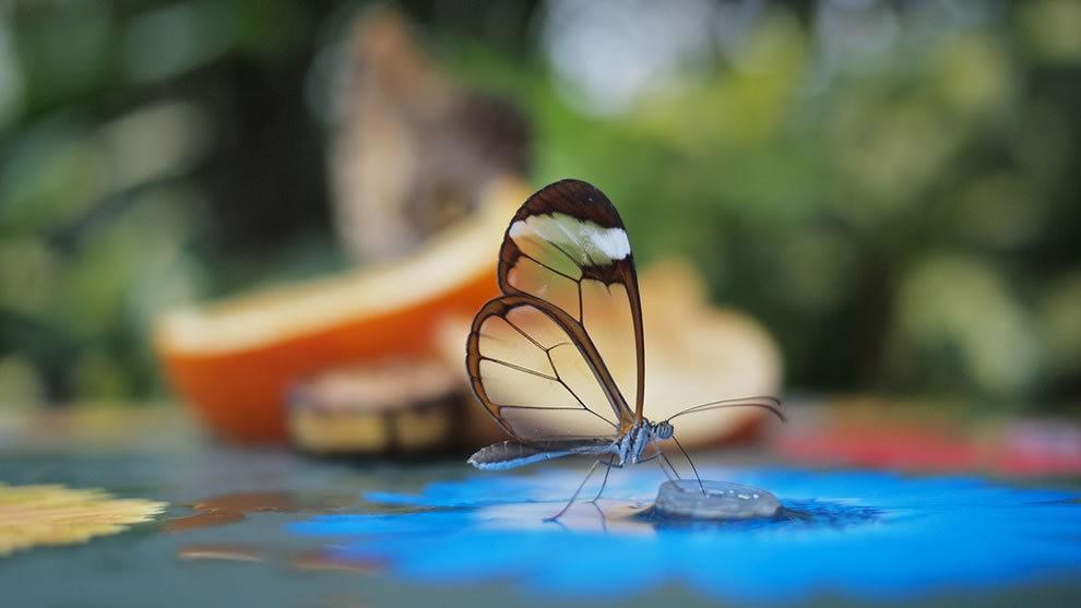 华丽的玻璃翼蝴蝶_图1-2