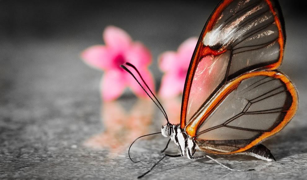 华丽的玻璃翼蝴蝶_图1-3