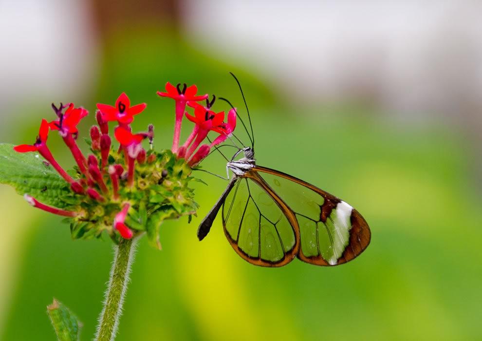华丽的玻璃翼蝴蝶_图1-4