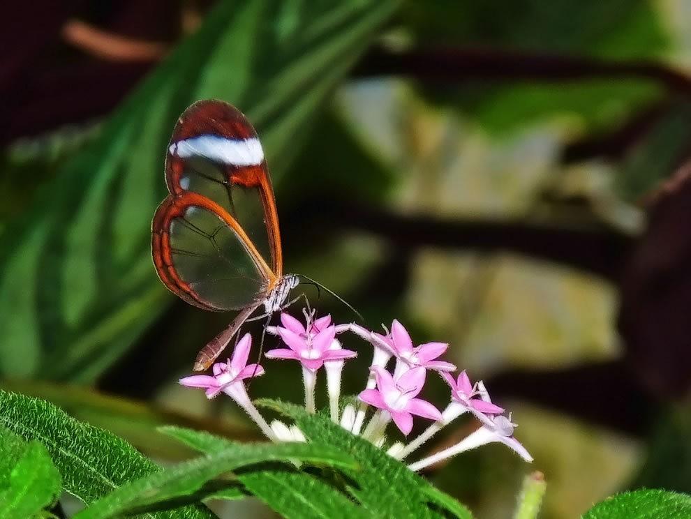 华丽的玻璃翼蝴蝶_图1-5