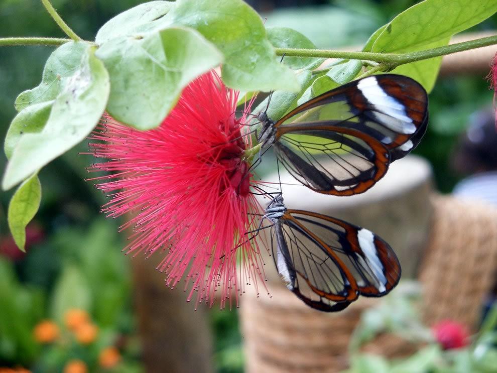 华丽的玻璃翼蝴蝶_图1-6