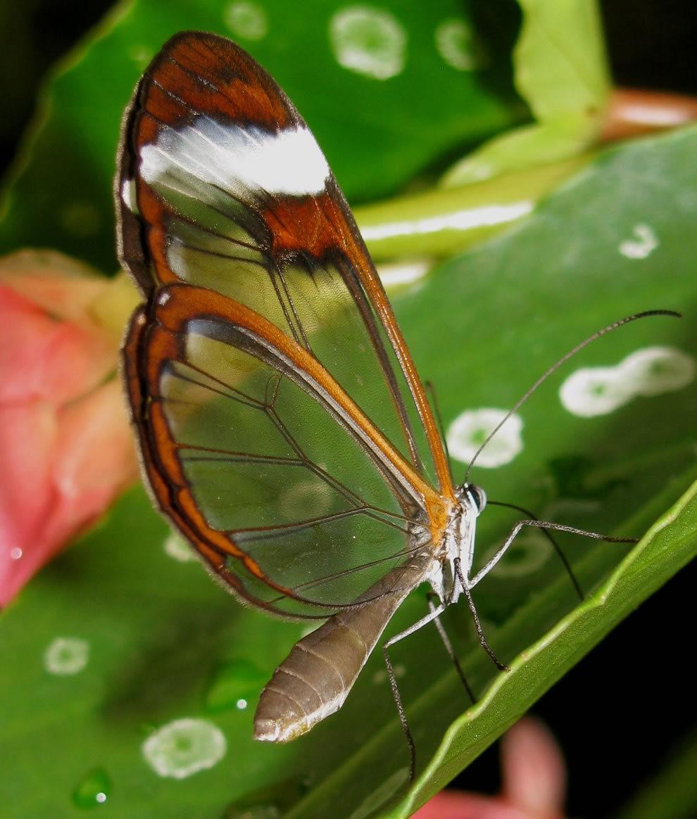 华丽的玻璃翼蝴蝶_图1-7