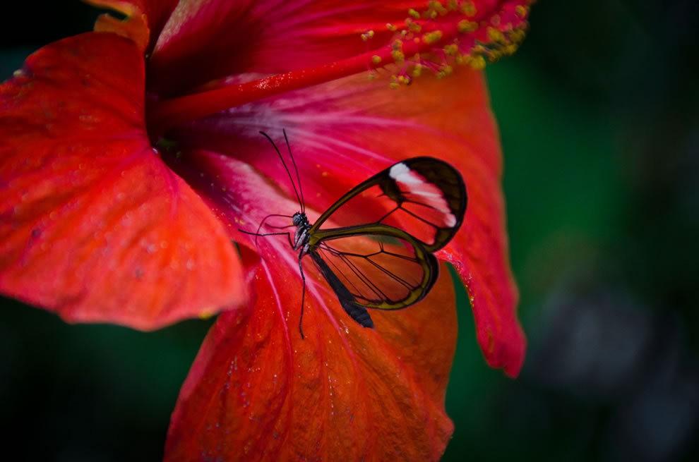 华丽的玻璃翼蝴蝶_图1-8