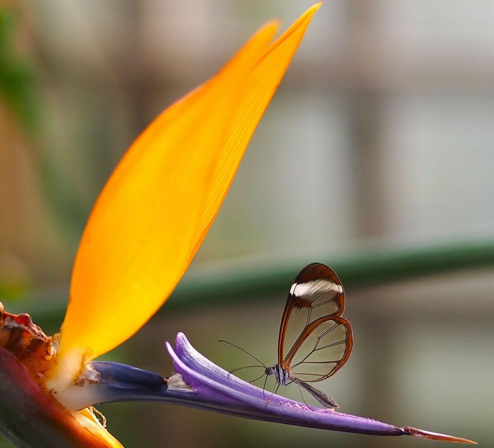 华丽的玻璃翼蝴蝶_图1-9