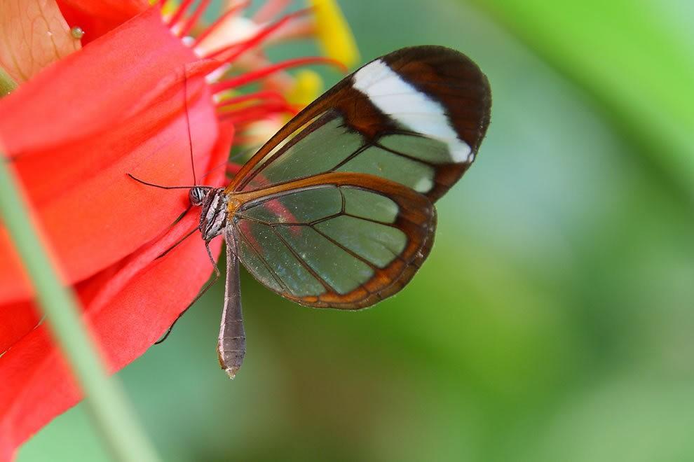 华丽的玻璃翼蝴蝶_图1-10