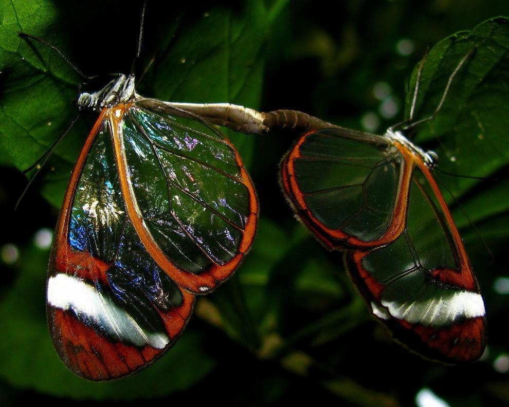 华丽的玻璃翼蝴蝶_图1-11