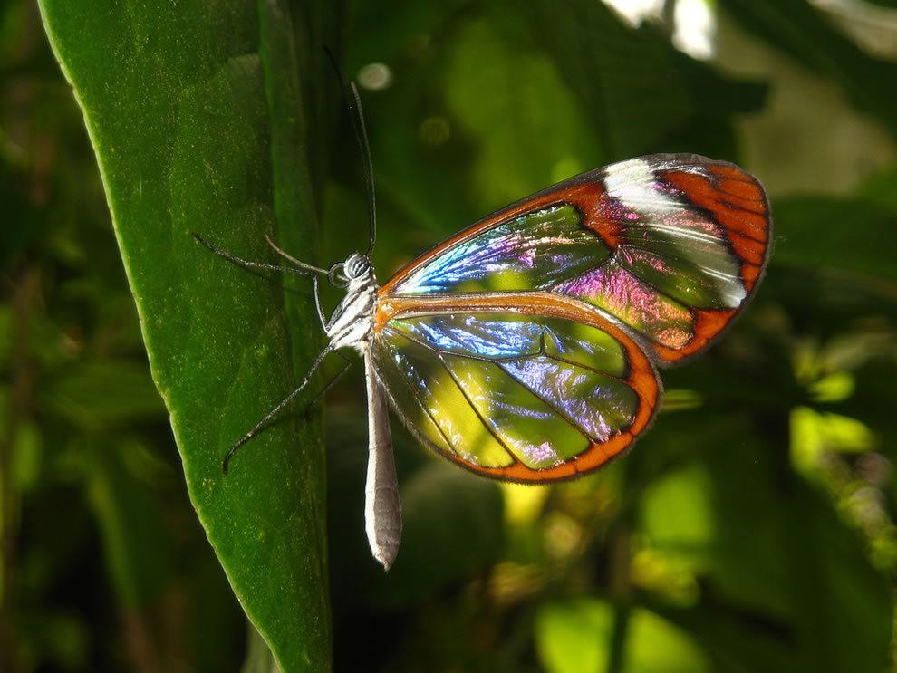 华丽的玻璃翼蝴蝶_图1-12
