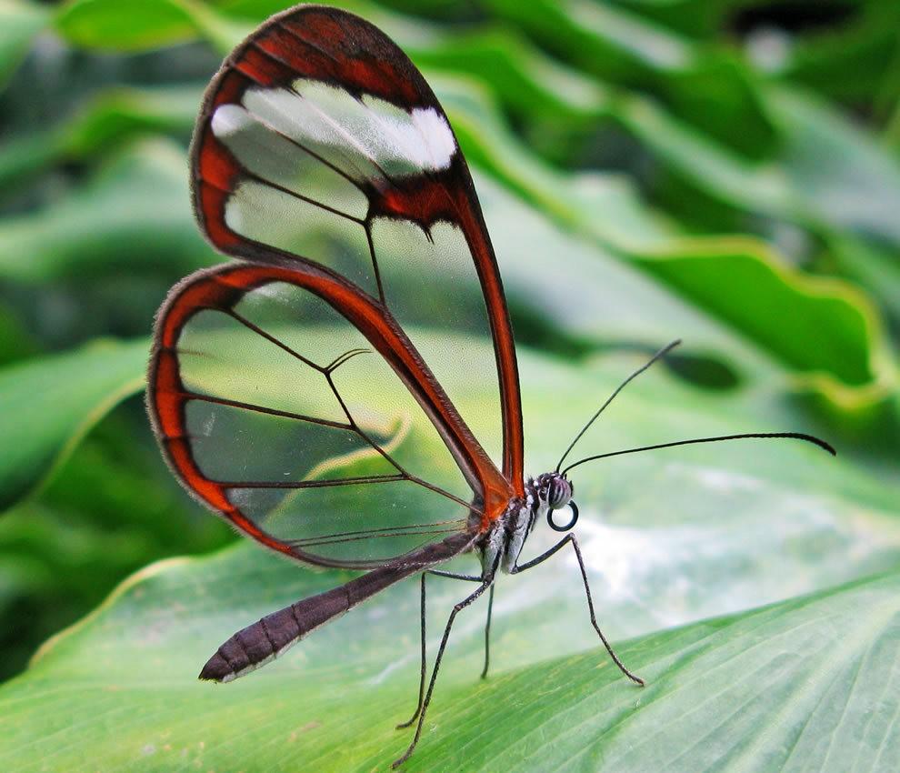 华丽的玻璃翼蝴蝶_图1-13