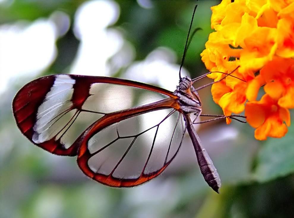 华丽的玻璃翼蝴蝶_图1-15