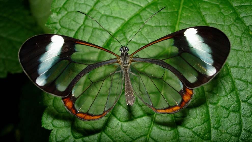 华丽的玻璃翼蝴蝶_图1-16