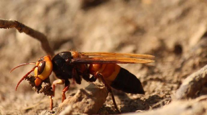 广西8名村民路遇黄蜂群被蜇:3人死亡5人受伤,大家要远离危险! ..._图1-1