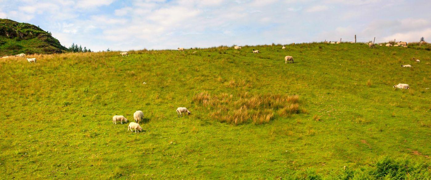 苏格兰见闻,咱家的牛羊_图1-40
